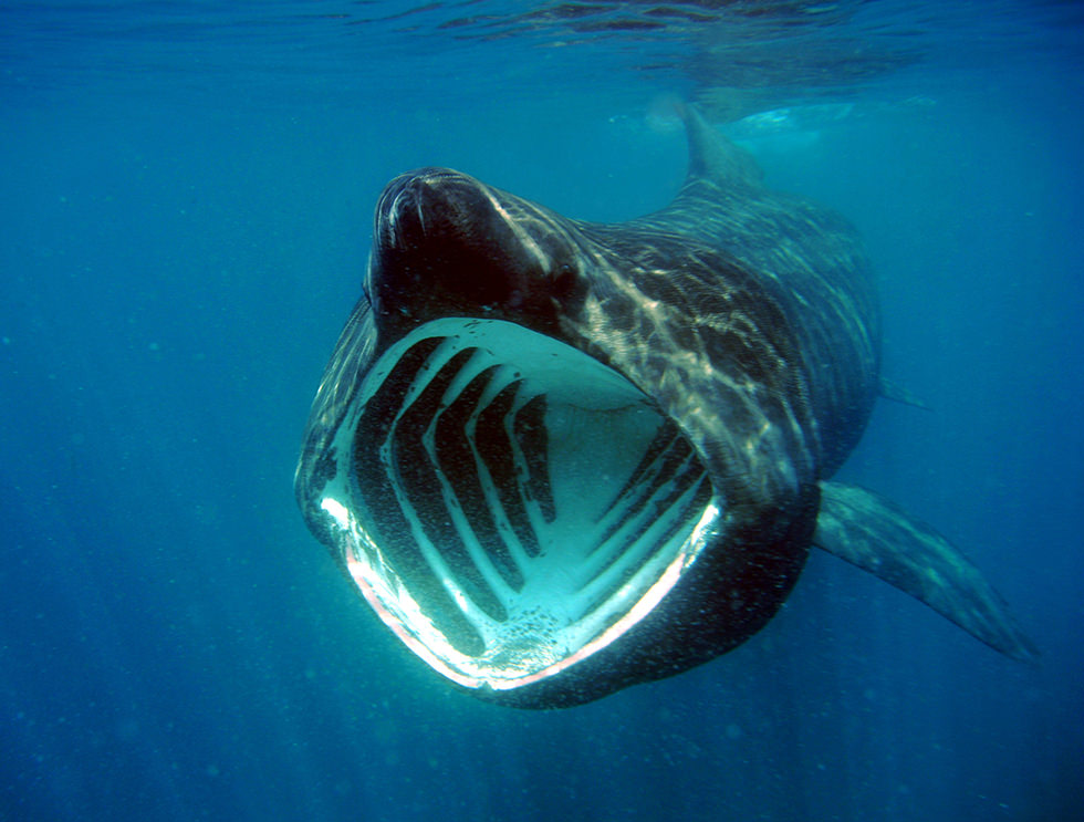 The gallery for --> What Do Basking Sharks Eat