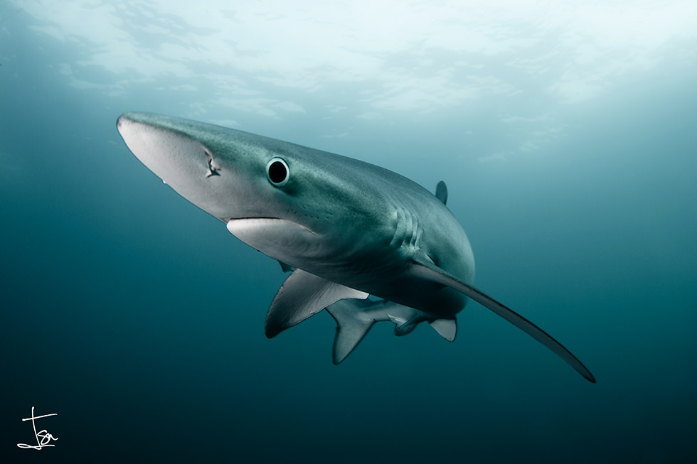 A solitary Blue Shark. Photo credit: Isaias Cruz