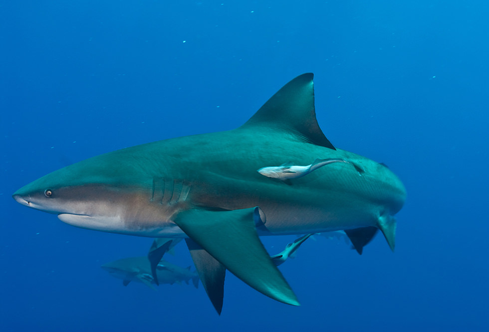 Close up of a Bull Shark