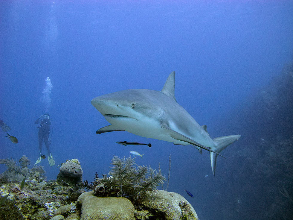 A Caribbean Reef Shark in Cuba. Photo credit: Sandro Lonardi