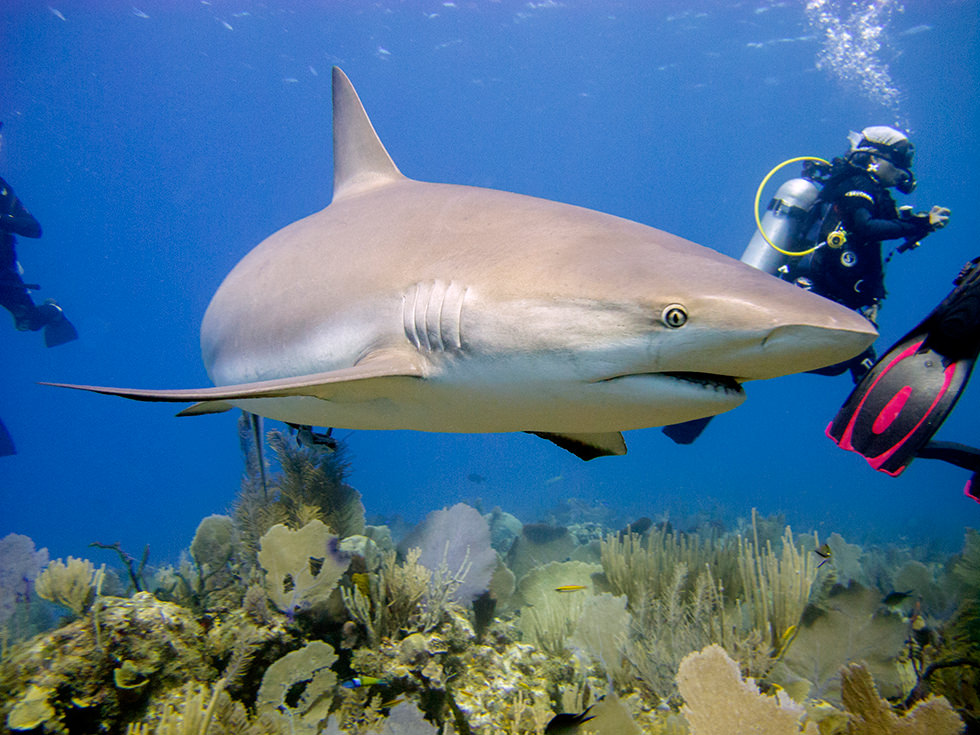 A Caribbean Reef Shark in the Jardines de la Reina, Cuba. Photo credit: Sandro Lonardi