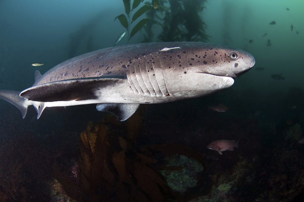 A Cow Shark swimming in a kelp forest