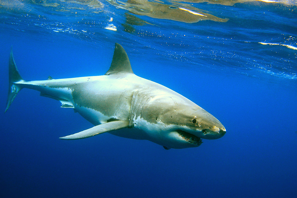 Diving with Great White Sharks in South Australia