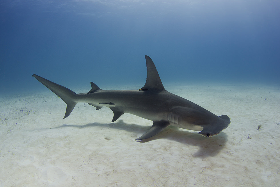 A Hammerhead Shark swimming in the Bahamas