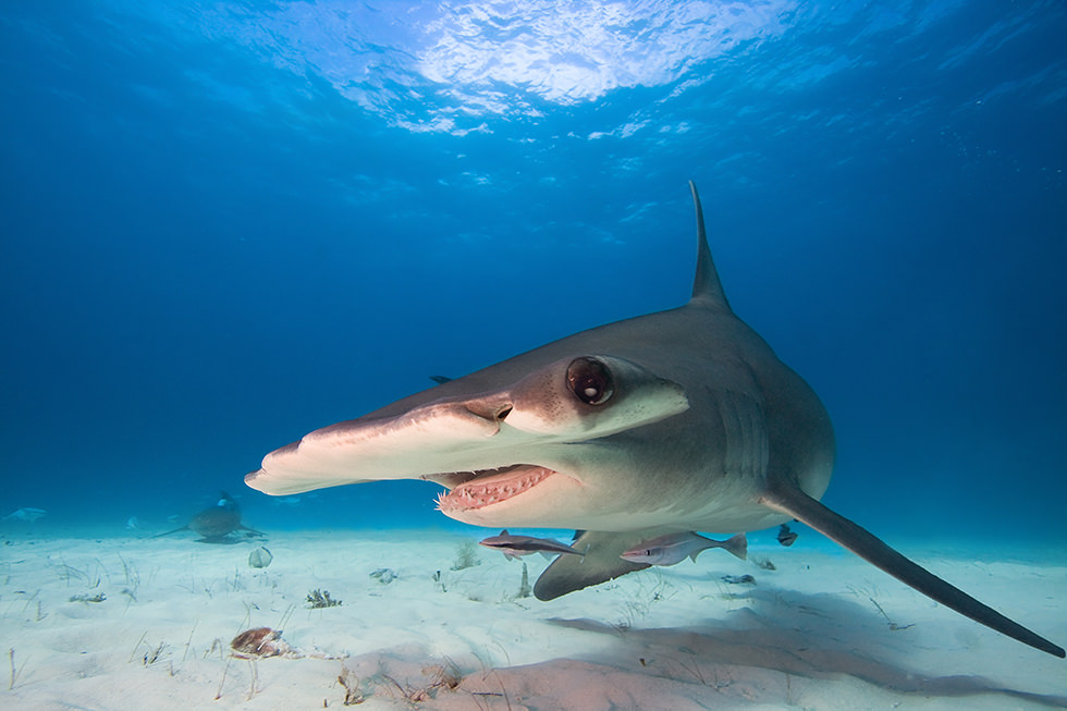 A close up of a Hammerhead Shark