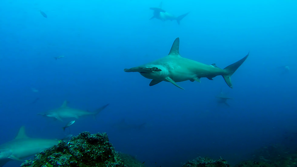 Hammerhead Sharks around Darwin Island, Galápagos Islands. Photo credit: Sandro Lonardi