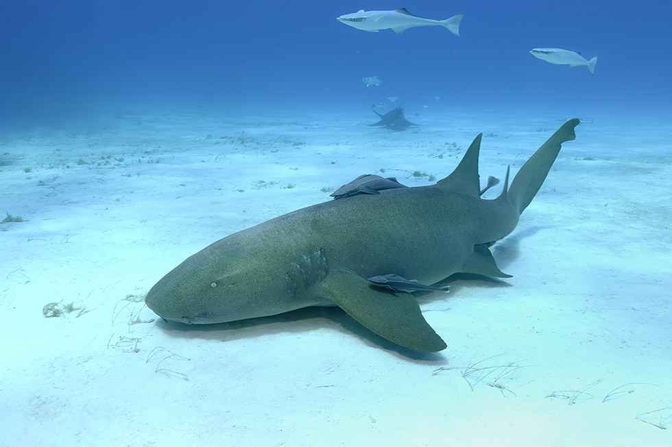 A Nurse Shark resting on a sandy bottom