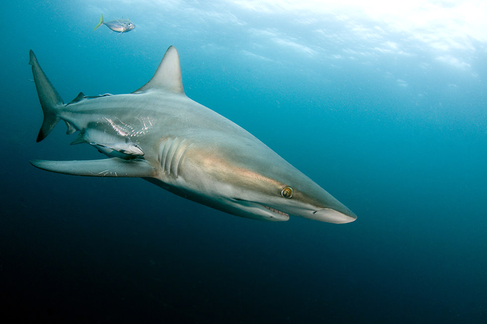 An oceanic blacktip shark