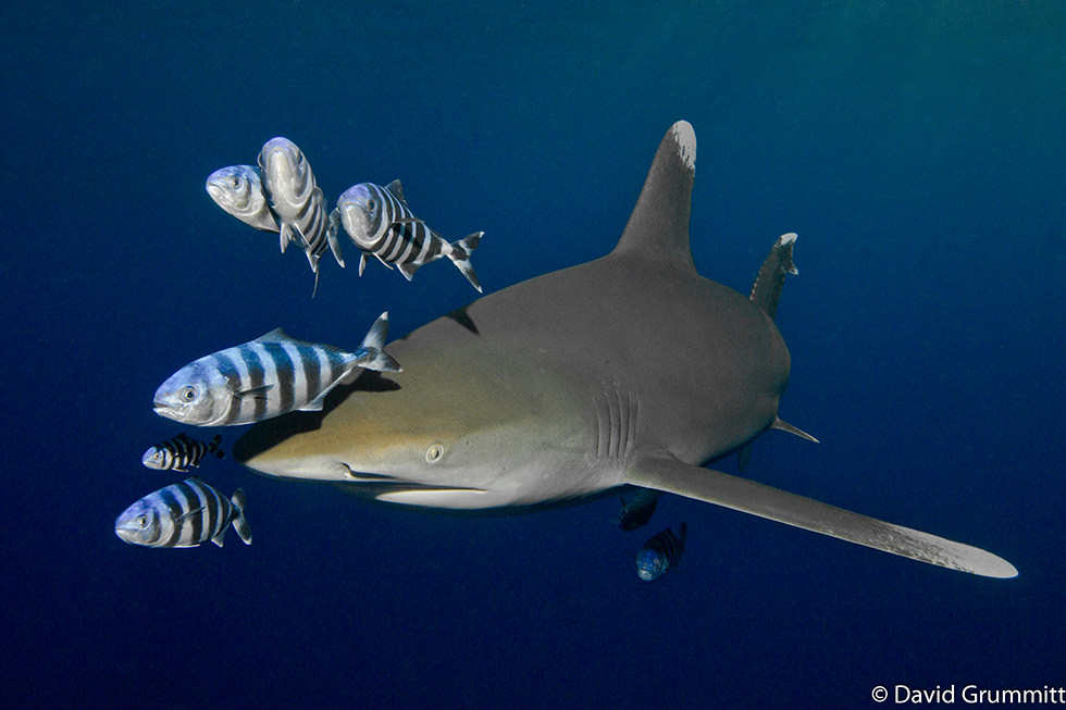Close up of an Oceanic Whitetip Shark. Photo credit: David Grummitt