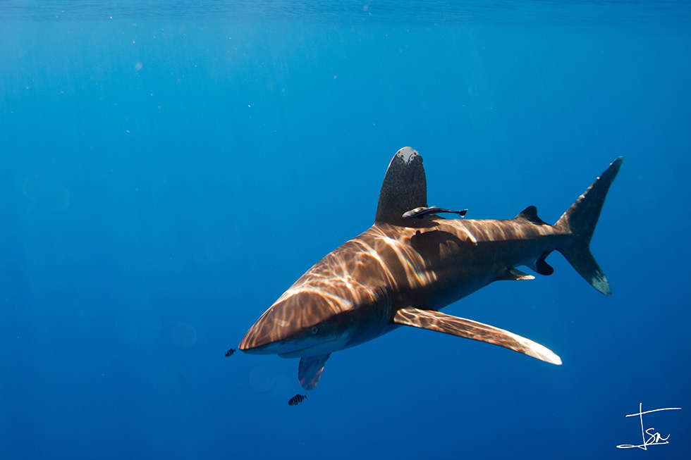 An Oceanic Whitetip Shark or Longimanus. Photo credit: Isaias Cruz