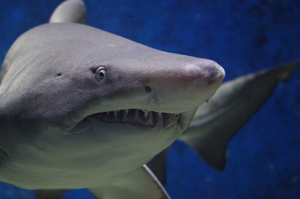 Close up photo of a sand tiger shark