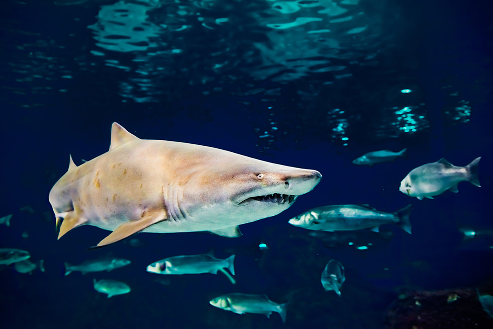 A sand Tiger Shark or Ragged-tooth shark
