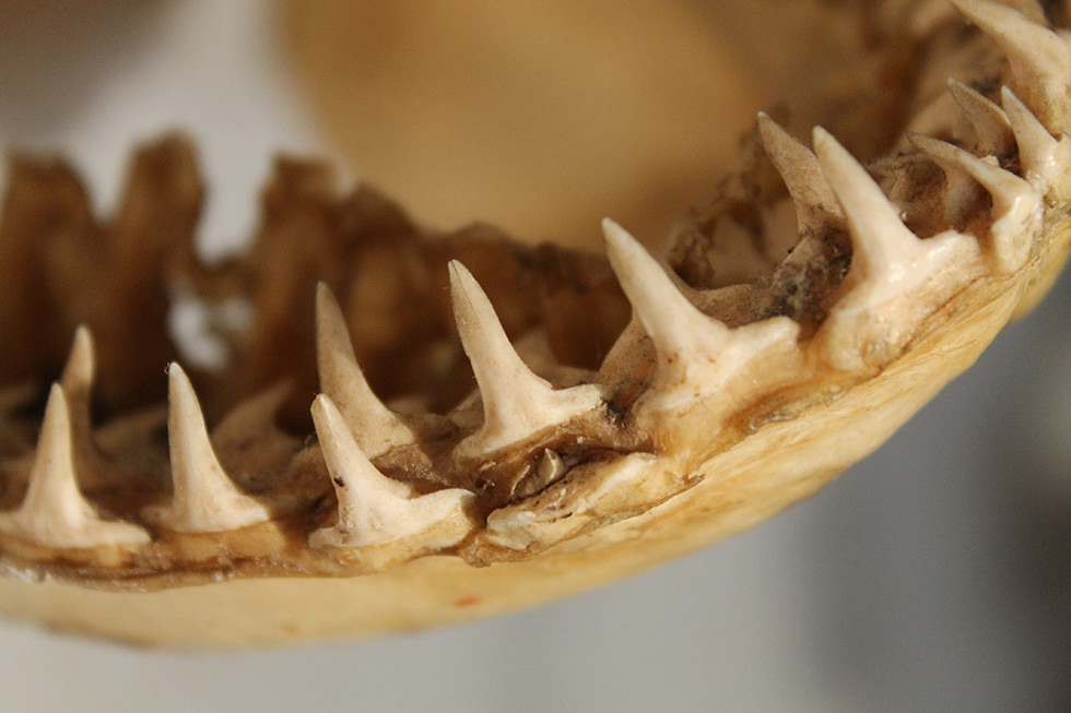 A close up on shark teeth