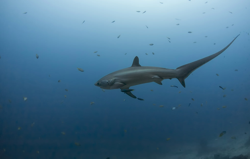 A Thresher Shark in Malapascua