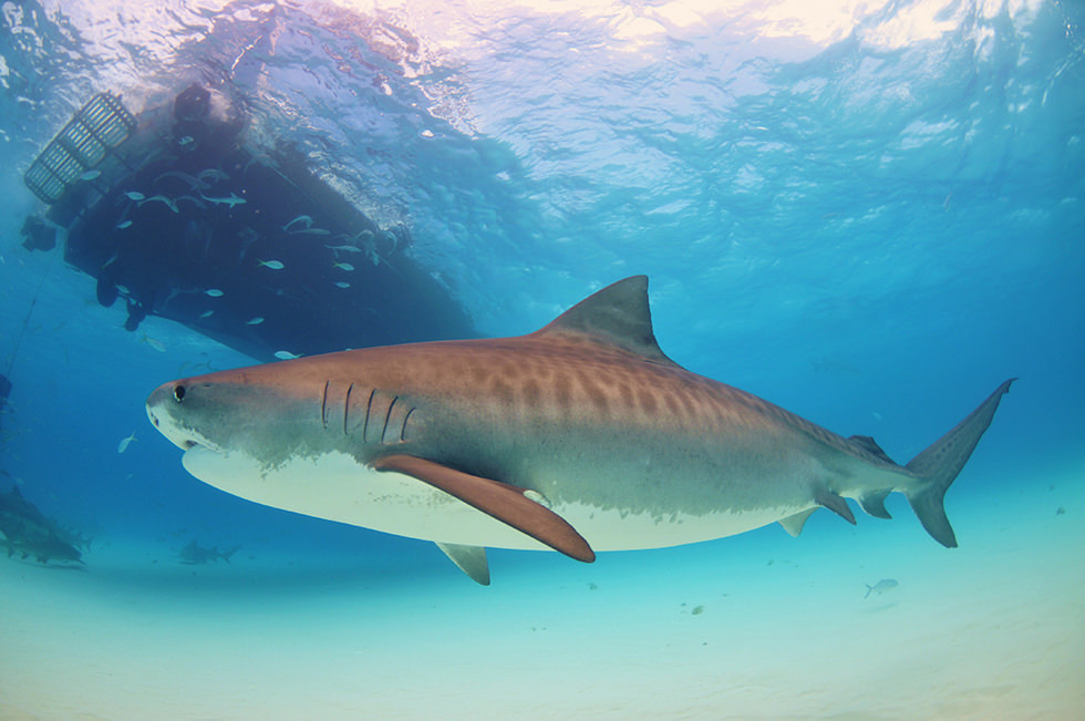 A Tiger Shark in Bahamas. Photo credit: Albert Kok