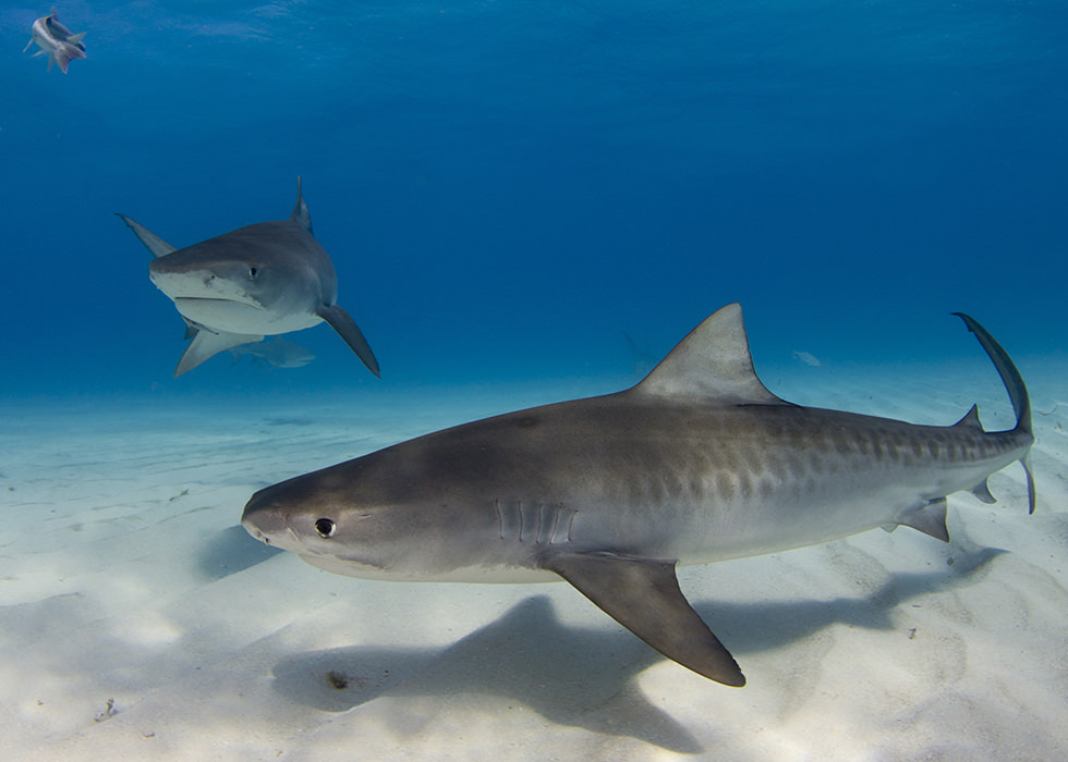 Two Tiger Sharks in Tiger Beach, Bahamas
