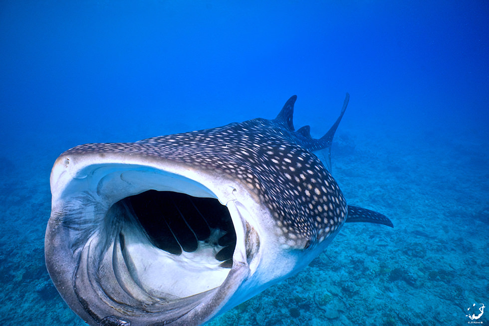 A Whale Shark spotted in the south part of Ari Atoll, Maldives. Photo credit: Jil Kune