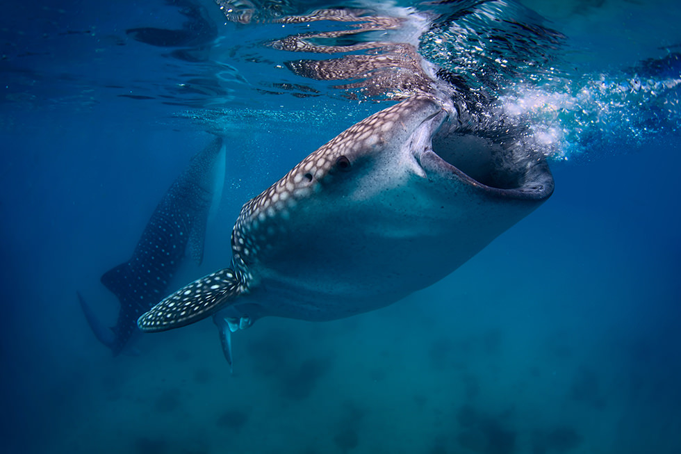 Two Whale Sharks feeding in the surface
