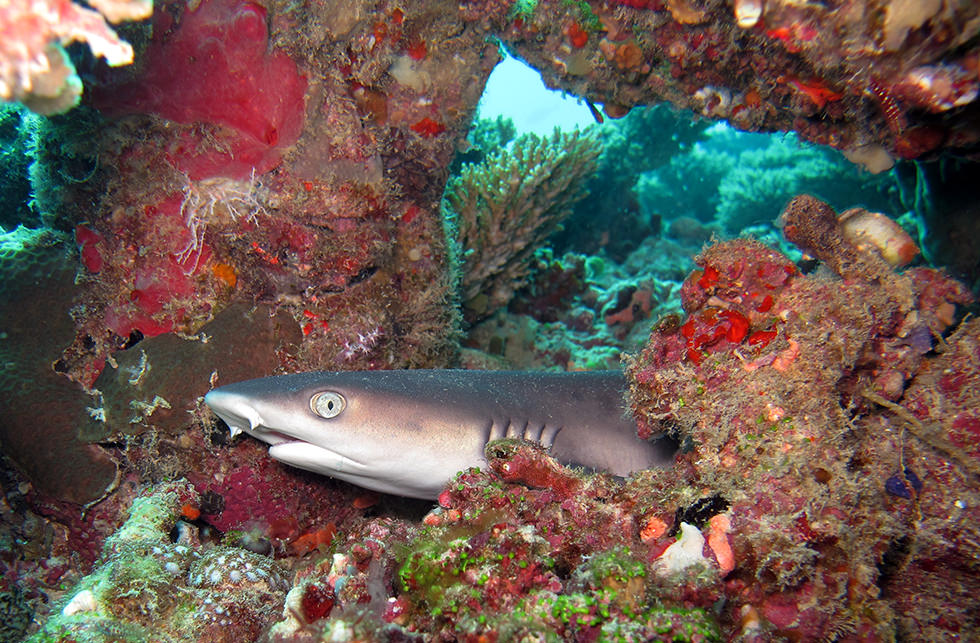 A Whitetip Reef Shark resting on the reef. Photo credit: Sandro Lonardi