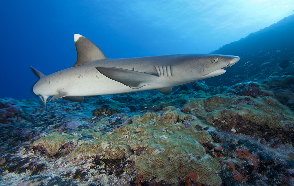 A Whitetip Reef Shark