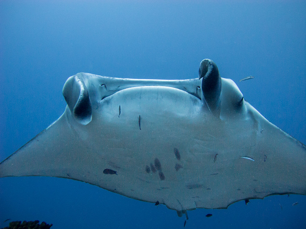 A close up of a manta in the Maldives. Photo credit: Sandro Lonardi