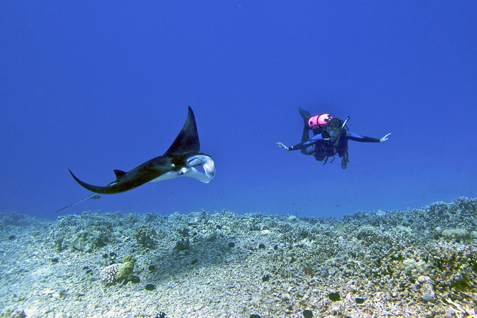 A manta ray in Kona, Hawaii. Photo credit: Steve Dunleavy
