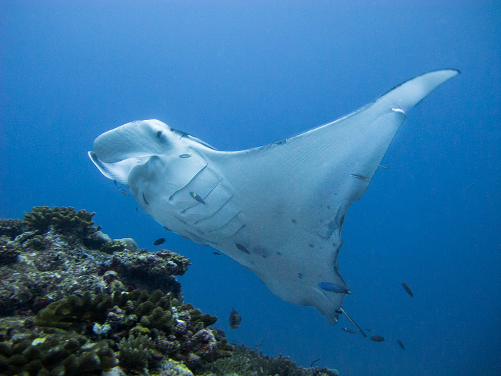 A manta ray. Photo credit: Sandro Lonardi