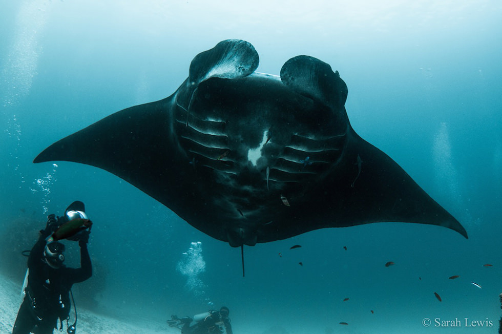 Scuba diving with manta rays. Photo credit: Sarah Lewis