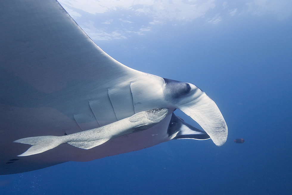 A Giant Oceanic Manta Ray. Photo credit: Elias Levy