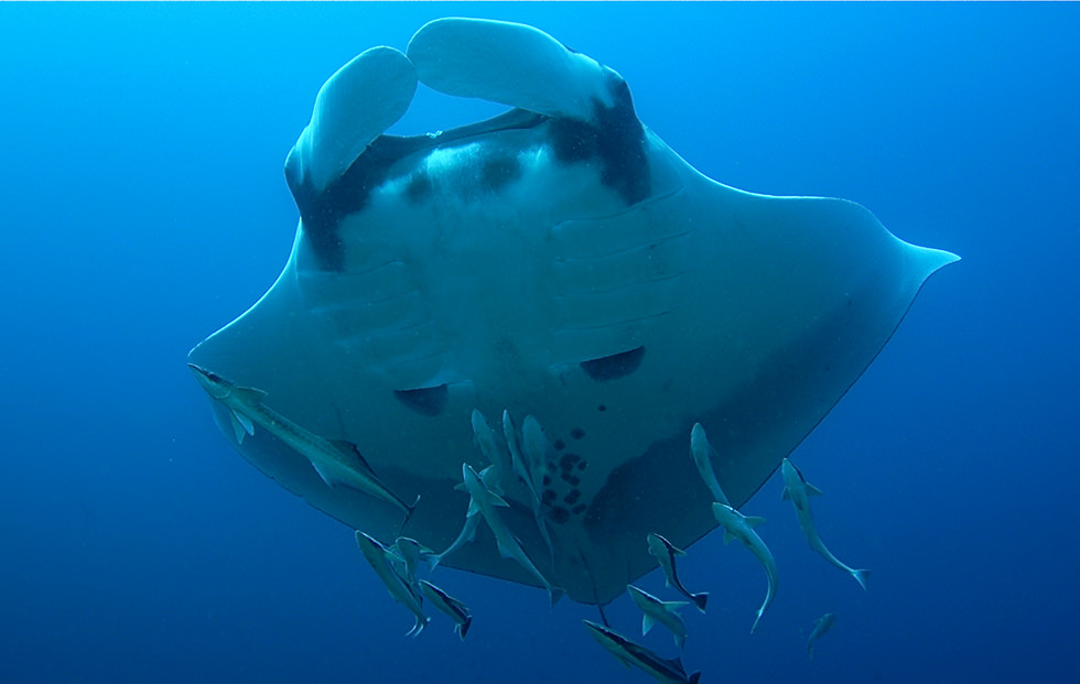A Giant Oceanic Manta Ray. Photo credit: Simon Fraser University