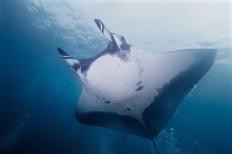 A Giant Oceanic Manta Ray in Socorro, Mexico. Photo credit: Elias Levy