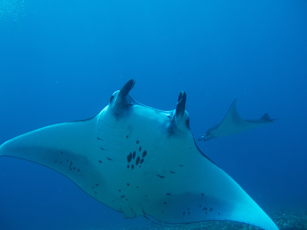 One of the manta rays from Manta Point - Komodo National Park, Indonesia. Photo credit: Yuxuan Wang