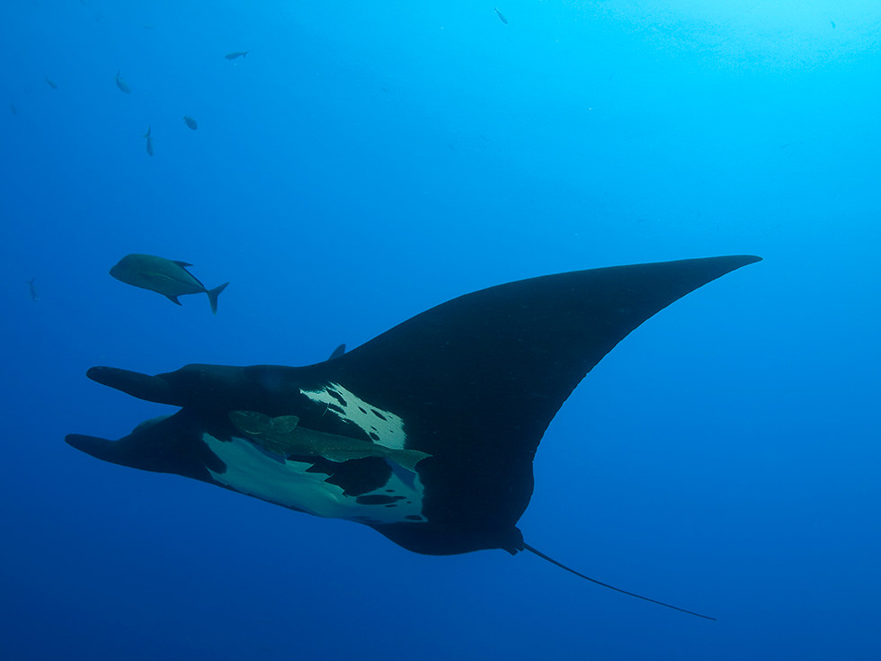 A manta ray that presents the black morph. Photo credit: Chuck Gerlovich
