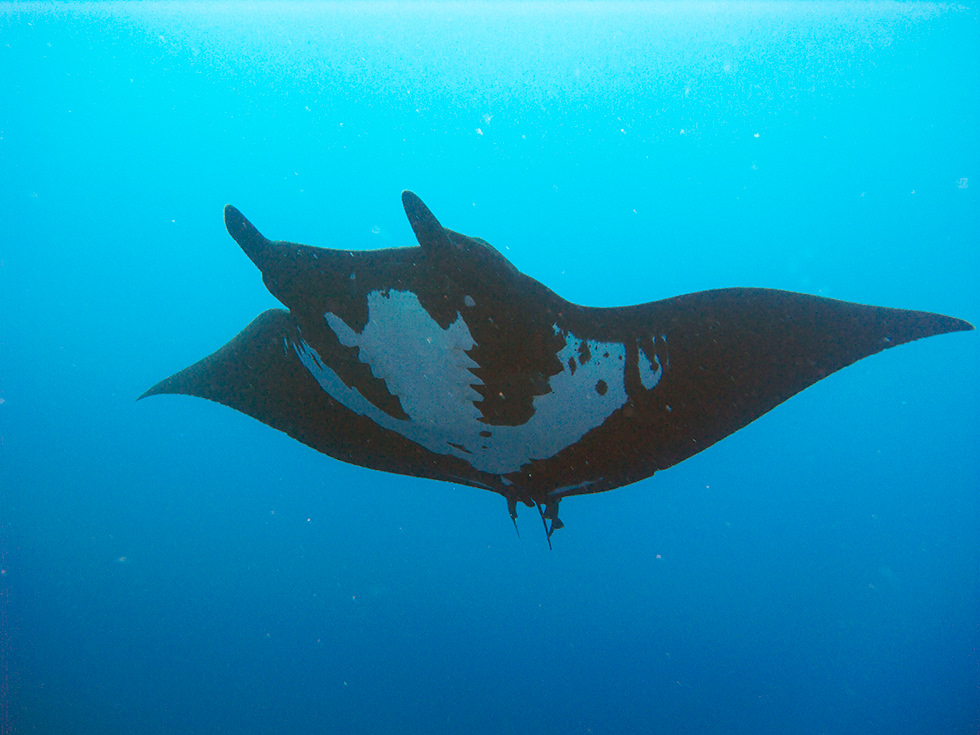 "A manta ray presenting the ""Black Morph"". Photo credit: Tam Warner Minton"