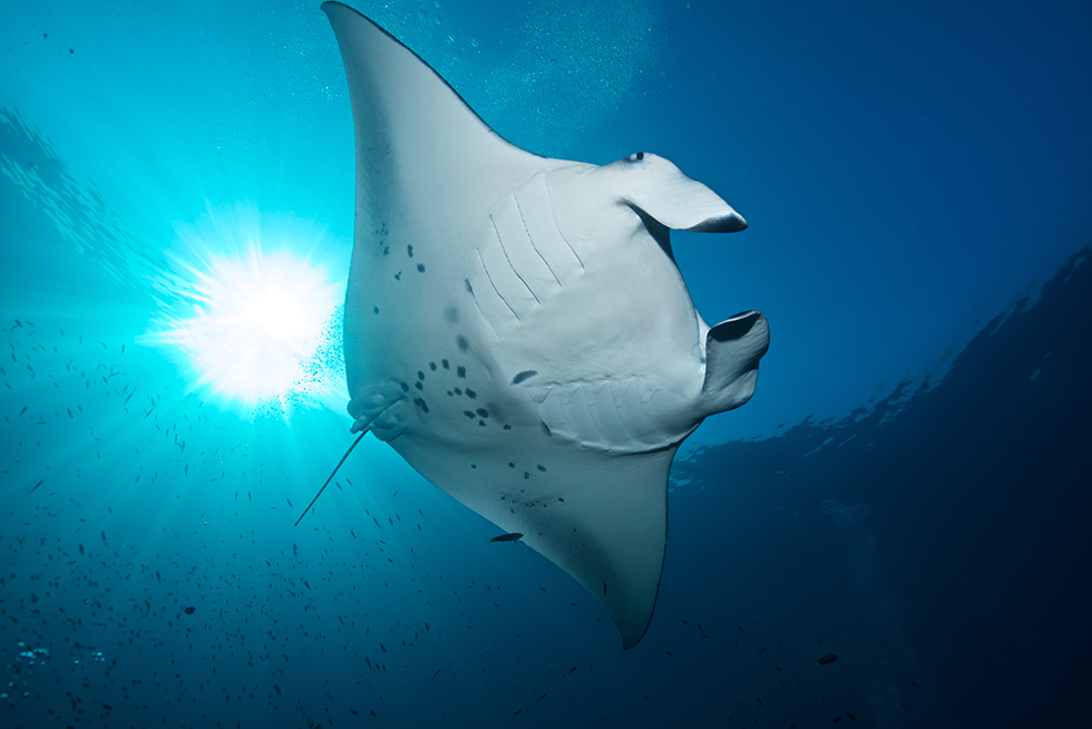 A manta ray. Photo credit: Jürgen Gangoly