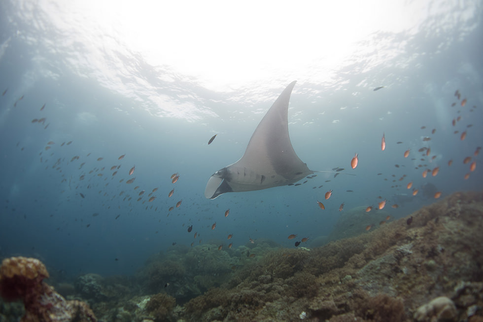 A manta ray from Raja Ampat, Indonesia. Photo credit: Mark