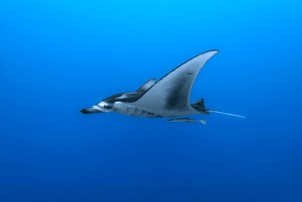 Diving with manta rays. Photo credit: Roberto Marchegiani