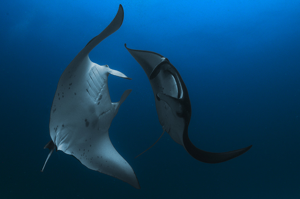 Two manta rays dancing. Photo credit: Jome Jome