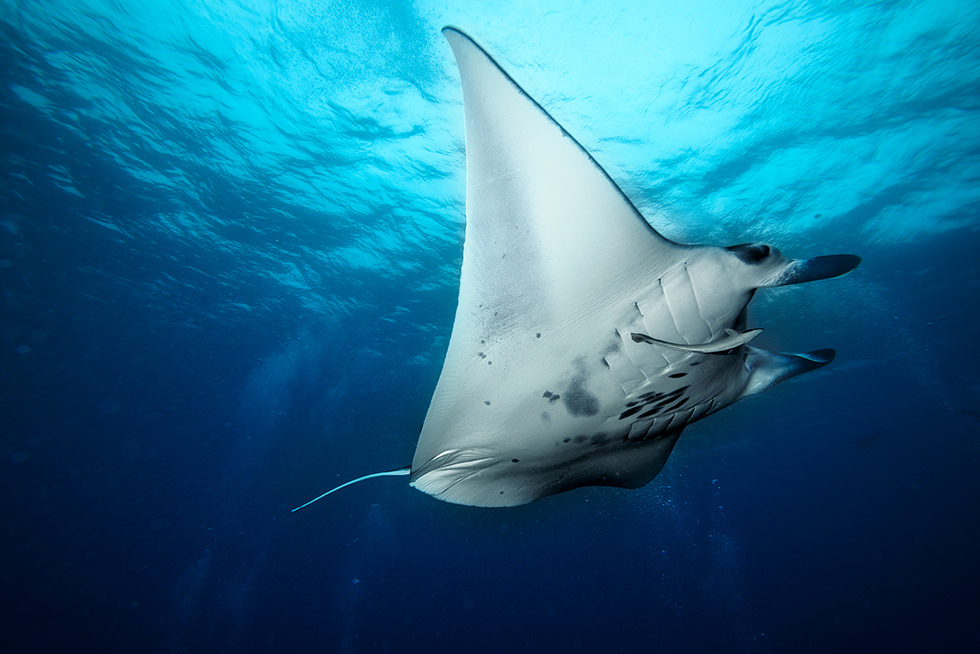 A manta ray. Photo credit: Roberto Marchegiani
