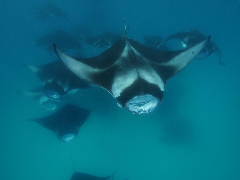 Manta rays feeding credit: Niv Froman
