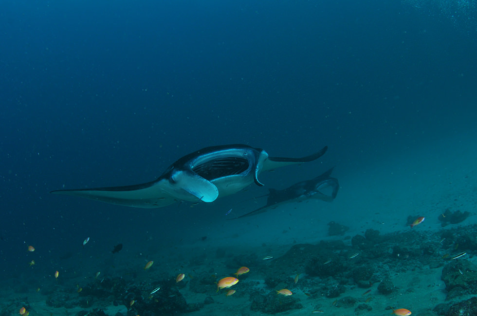 Two manta rays swimming over the reef. Photo credit: Jome Jome