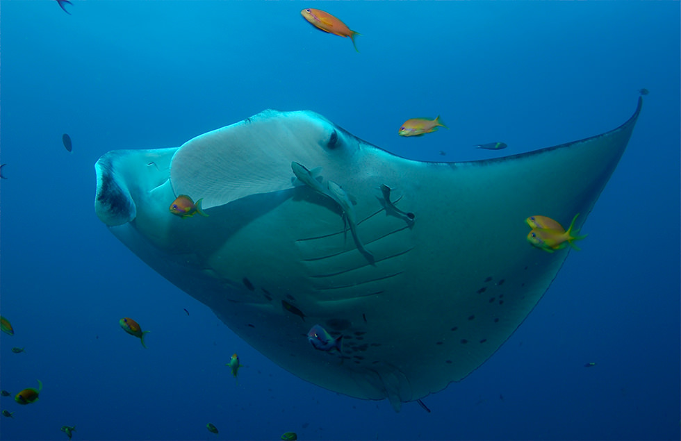 A Reef Manta Ray. Photo credit: Simon Fraser University