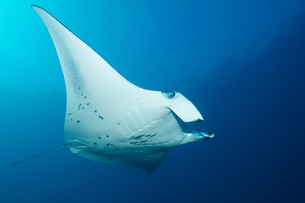 a resident reef manta ray  photo credit: j�rgen gangoly