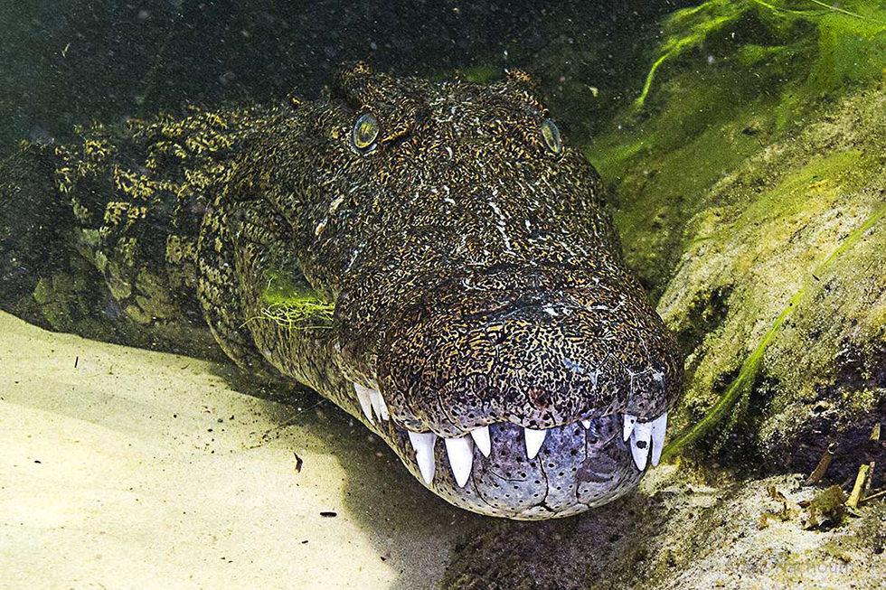 A close up of a nile crocodile