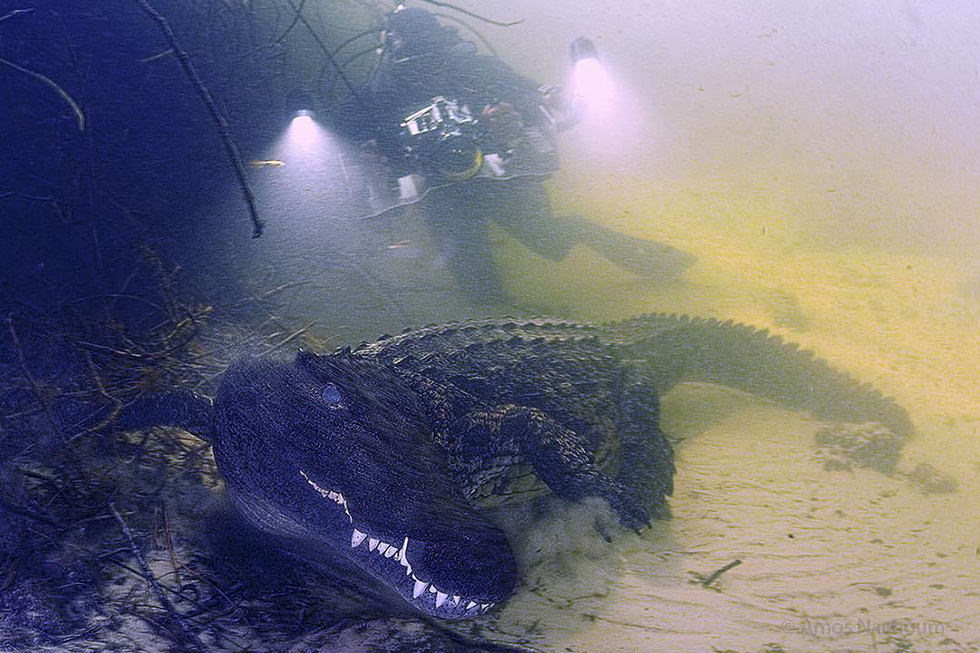 Diving with a crocodile