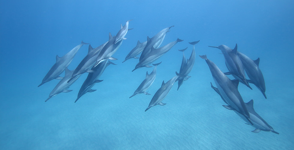 Dolphins in Tubbataha Reef, Philippines