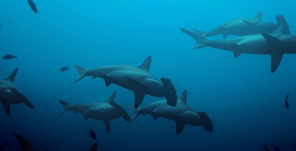 Hammerhead sharks in Cocos Island, Costa Rica