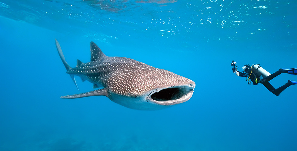 Top 10 Best Places for Swimming with Whale Sharks | Diviac ...
