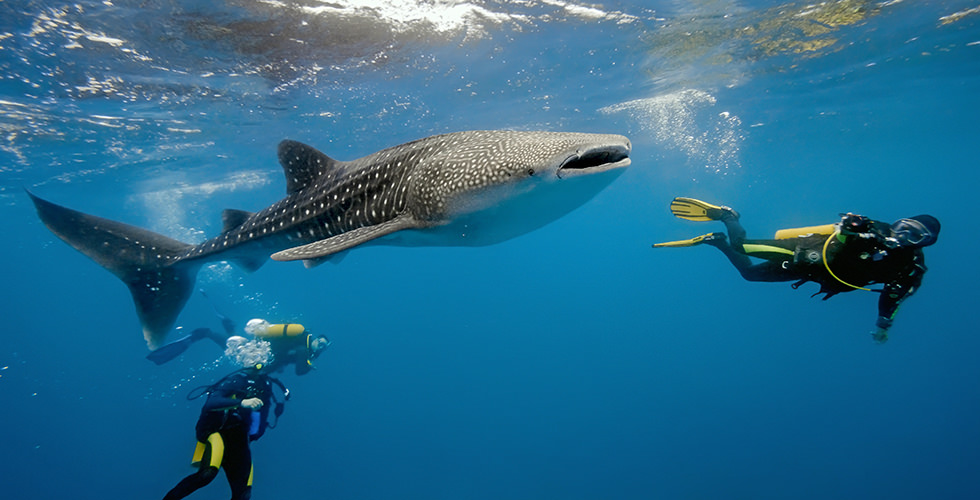 Your whale shark adventure