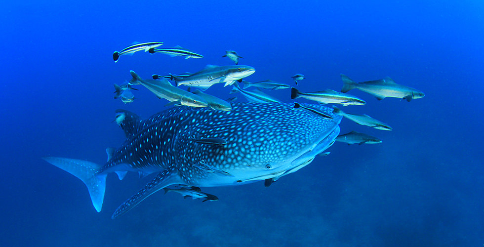 Whale shark diving in the Galapagos Islands, Ecuador